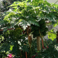 Burundi_Intermed_piante